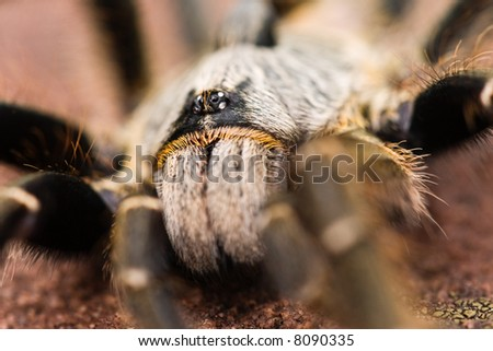 The baboon spider, Ceratogyrus, is often called tarantula. A giant among his comrades 13-90 mm however this was only 60mm and most of the time is an unwelcome visitor in our beds in Southern Africa.