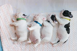 The baby french bulldog are sleeping on the bed , french bulldog