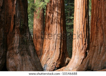 The Bachelor and Three Graces, Mariposa Grove, Yosemite