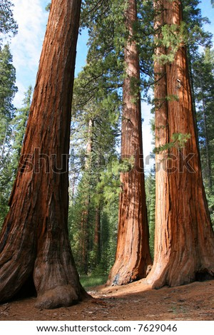 The Bachelor and Three Graces, Mariposa Grove, Yosemite - stock photo