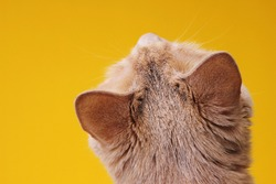 The back of the head of a red cat in close-up on a yellow background. Red cat looking up. Close-up view of the cat's head from behind.