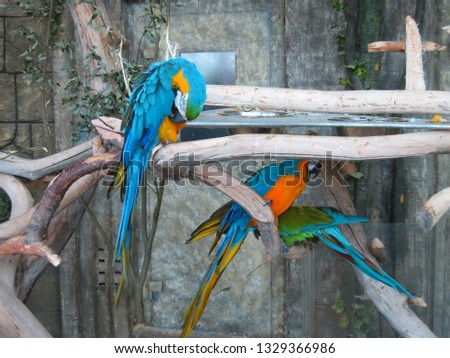 The backdrop of brightly colored macaws in the trees. Wash bright blue parrot feathers #1329366986