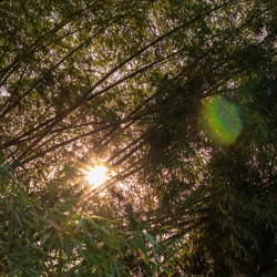 The background of the view of bamboo groves and sunlight shining through in the afternoon is common in the Thai countryside.