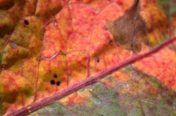 The background or texture of a withering leaf is a red and orange leaf with spoilage spots and holes close-up. Top view.