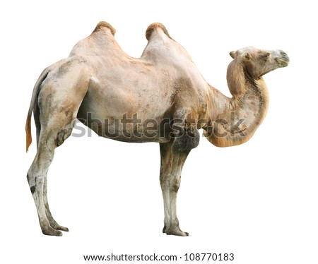 The Bactrian camel (Camelus bactrianus).