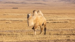 The Bactrian camel (Camelus bactrianus) is a large, even-toed ungulate native to the steppes of Mongolia. The Bactrian camel has two humps on its back