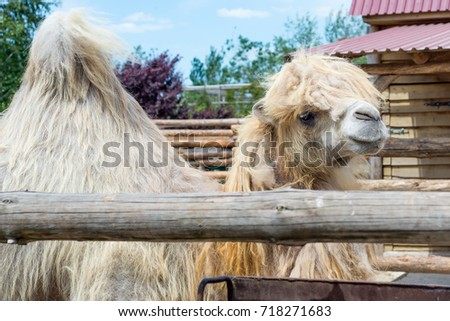 The Bactrian camel eating, Camelus bactrianus, large, even-toed ungulate native to the steppes of Central Asia. The Bactrian camel has two humps on its back, in contrast to the single-humped dromedary