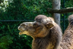 The Bactrian camels, Camelus bactrianus is a large, even-toed ungulate native to the steppes of Central Asia. The Bactrian camel has two humps on its back