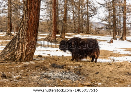 The balck yak is a long-haired bovid found throughout the Himalayan region of south Central Asia, the Tibetan Plateau and as far north as Mongolia and Russia. #1485959516