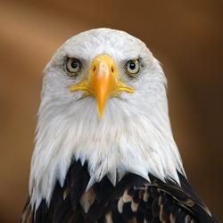 The Bald Eagle (Haliaeetus leucocephalus) portrait