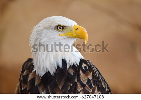 The Bald Eagle (Haliaeetus leucocephalus) portrait Stock photo ©