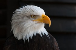 The bald eagle is a classic icon of the United States, standing for strength, courage, and freedom. ... Bald eagles are large, predatory raptors that are recognizable for their brown body and wings,