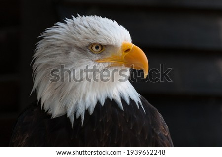 The bald eagle is a classic icon of the United States, standing for strength, courage, and freedom. ... Bald eagles are large, predatory raptors that are recognizable for their brown body and wings,  Photo stock ©