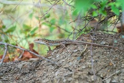 The Balkan wall lizard, lat. Podarcis tauricus, standing on ground with green background, full length. Background lizard close-up. Detailed image of a lizard