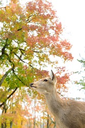 The Bambi at Nara Park in Autumn.