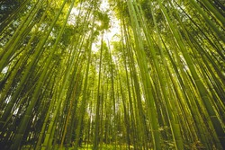 The bamboo groves of Arashiyama, Kyoto, Japan