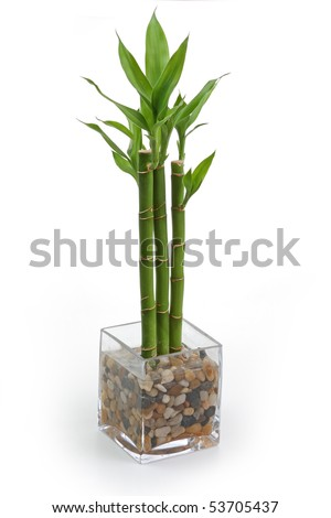 The bamboo plant in the pot isolated on white background