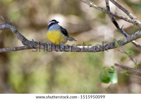 The Bananaquit also know Cambacica is a typical Brazilian savannah bird. Species Coereba flaveola. Stunning yellow plumage. Bird lover. Birdwatching. Animal life.
