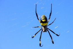 The banded-legged golden orb-web spider with a web against the sky, Island Santiago, Cape Verde