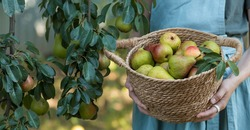 The banner. A wicker basket with pears in women's hands, the hands of a gardener holding a crop of pears, a close-up of fresh fruits.