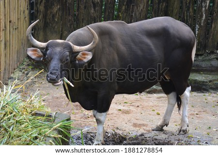 The banteng, Bos javanicus, also known as tembadau, and locally name is Banteng Jawa, is a species of cattle found in Indonesia   and Southeast Asia. Stockfoto ©