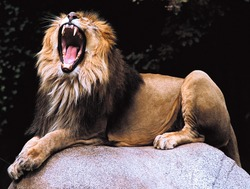 The barbarian lion, Panthera leo leo, lies on a boulder and yawns