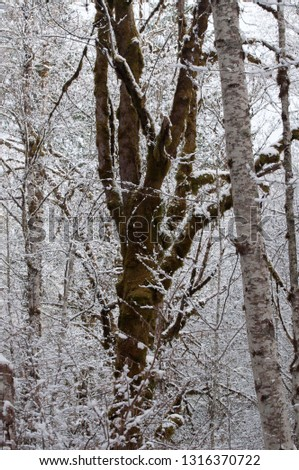The bare Alder and big-leaf Maple trees are covered snow photographed near Shelton, WA USA.
