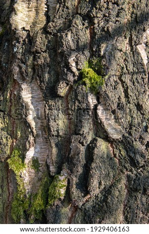 The bark of a birch tree in close-up Stock foto ©