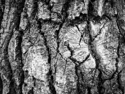 The bark of an old tree. Black-and-white.