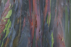 The bark of the Leda tree or Eucalyptus deglupta. The trunk of this tree has different colors like a rainbow, so it is often referred to as the Rainbow Eucalyptus, Mindanao Gum, and Rainbow Gum.