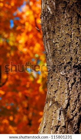 The bark of the tree on the background of yellow trees
