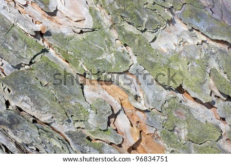 The bark of young pine trees in the spring sunshine texture background macro. Selective focus