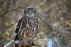 the barking owl is also known as the screaming woman owl. The barking owl is brown and white with yellow eyes