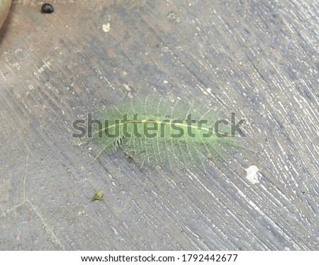 The baron caterpillar atau ulat baron (Euthalia aconthea gurda) has green hair and can camouflage and is harmless                       Zdjęcia stock ©