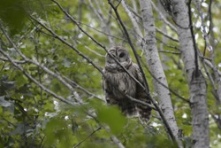 The barred owl, also known as the northern barred owl or, more informally, hoot owl, is a North American large species of owl.