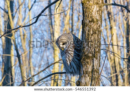 The barred owl is a large typical owl native to North America. Best known as the hoot owl for its distinctive call, it goes by many other names, including eight hooter, rain, wood  and striped owl.  #546551392