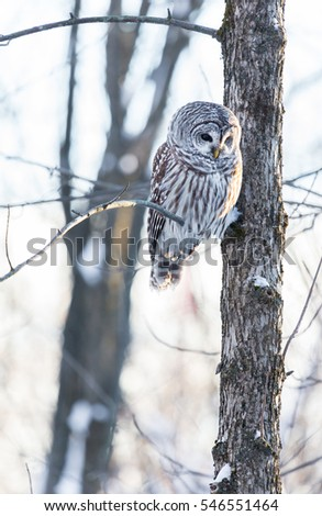 The barred owl is a large typical owl native to North America. Best known as the hoot owl for its distinctive call, it goes by many other names, including eight hooter, rain, wood  and striped owl.  #546551464