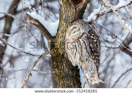 The barred owl is a large typical owl native to North America. Best known as the hoot owl for its distinctive call, it goes by many other names, including eight hooter, rain, wood  and striped owl.  #552418285