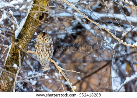 The barred owl is a large typical owl native to North America. Best known as the hoot owl for its distinctive call, it goes by many other names, including eight hooter, rain, wood  and striped owl.  #552418288