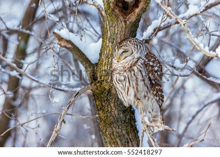 The barred owl is a large typical owl native to North America. Best known as the hoot owl for its distinctive call, it goes by many other names, including eight hooter, rain, wood  and striped owl.  #552418297