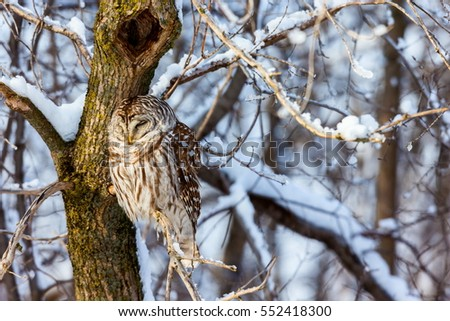 The barred owl is a large typical owl native to North America. Best known as the hoot owl for its distinctive call, it goes by many other names, including eight hooter, rain, wood  and striped owl.  #552418300