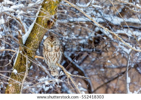 The barred owl is a large typical owl native to North America. Best known as the hoot owl for its distinctive call, it goes by many other names, including eight hooter, rain, wood  and striped owl.  #552418303