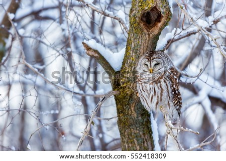 The barred owl is a large typical owl native to North America. Best known as the hoot owl for its distinctive call, it goes by many other names, including eight hooter, rain, wood  and striped owl.  #552418309