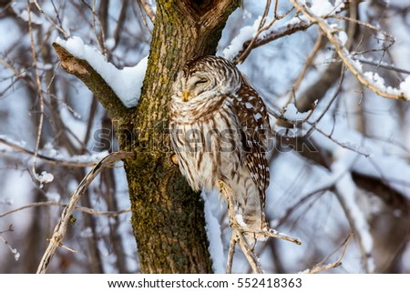 The barred owl is a large typical owl native to North America. Best known as the hoot owl for its distinctive call, it goes by many other names, including eight hooter, rain, wood  and striped owl.  #552418363