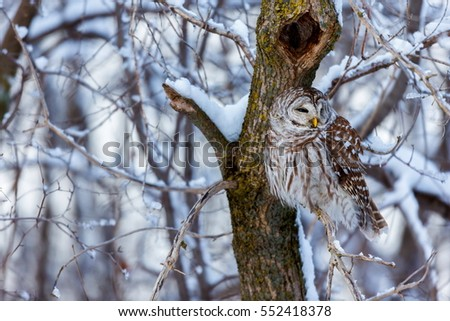 The barred owl is a large typical owl native to North America. Best known as the hoot owl for its distinctive call, it goes by many other names, including eight hooter, rain, wood  and striped owl.  #552418378