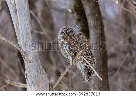 The barred owl is a large typical owl native to North America. Best known as the hoot owl for its distinctive call, it goes by many other names, including eight hooter, rain, wood  and striped owl.  #592837013