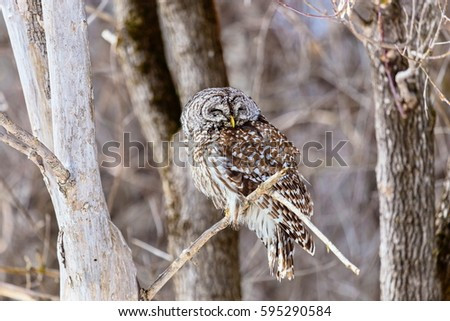 The barred owl is a large typical owl native to North America. Best known as the hoot owl for its distinctive call, it goes by many other names, including eight hooter, rain, wood  and striped owl.  #595290584