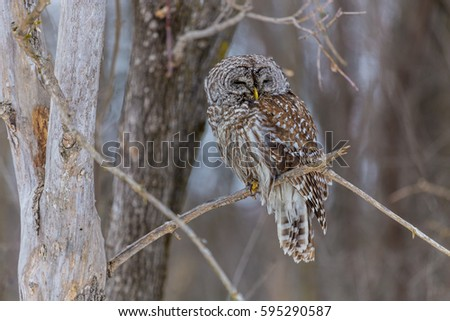 The barred owl is a large typical owl native to North America. Best known as the hoot owl for its distinctive call, it goes by many other names, including eight hooter, rain, wood  and striped owl.  #595290587