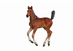 The bay foal galloping  on a white background