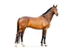 The bay horse isolated on white